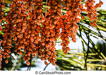 Tropical Palm Fruit. HDR image