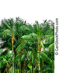 Tropical palm treetops - Green jungle tropical palm treetops...