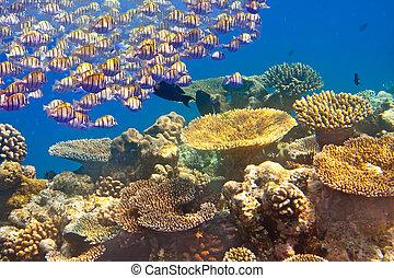 tropical, pequeño, peces, corales