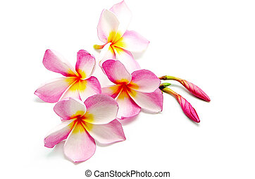 pink Plumeria - Tropical pink Plumeria or Fangipani flower,...