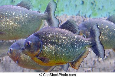 tropical piranha fish