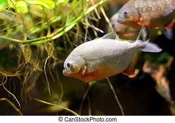 Tropical piranha fish in aquarium