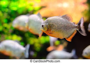 Tropical piranha fish in the Aquarium