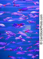 Tropical piranha fishes in Aquarium