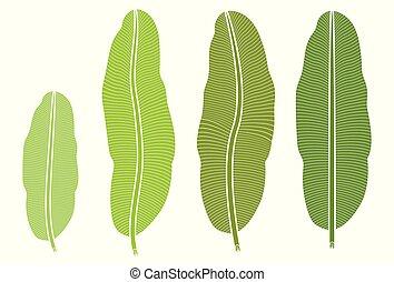 Tropical plant, banana leaf isolated on white background