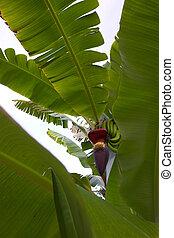 Bananas growing on a tree in Hawaii garden