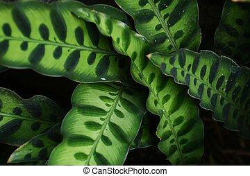 Tropical plants / Rattle snake plant / Calathea insignis
