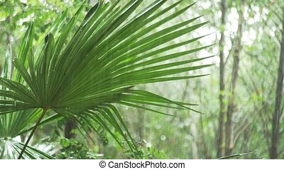 Tropical rain. drops falling on the large green palm leaves....