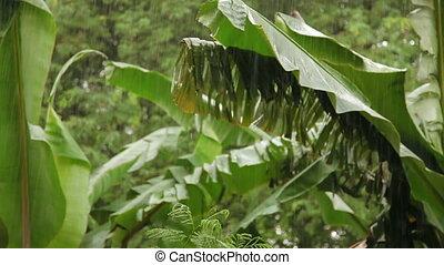 Tropical rain. Wet green palm tree leaves. Phuket island,...