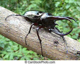 Tropical Rainforest Beetle - Three-horned Atlas or...