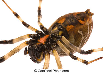 Tropical Rainforest Spider - Isolated macro image (from the ...