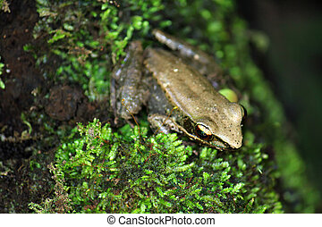 Tropical Rana Frog, found in a deep forest in Thailand, Asia