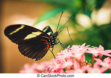tropical red, black and white butterfly named Heliconius ...