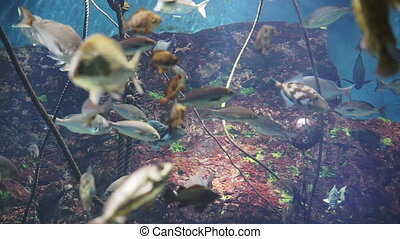 Video of reef fish swim peacefully among the corals in the background of sea corals