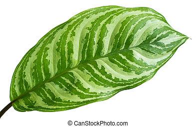 tropical, retrato, hojas, aglaonema