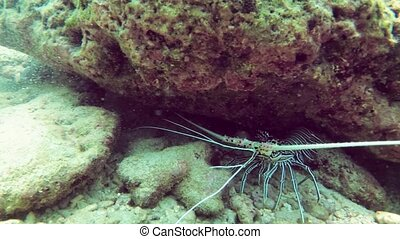 Tropical rock lobster, with its typical, ornate, striped markings and long antennae, retreats beneath the coral in its natural habitat off Thailand. FullHD footage