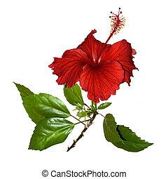 tropical, rojo, hibisco, flor, aislado