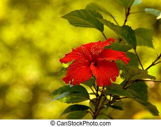 tropical, rojo, hibisco, flor