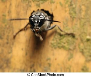 Tropical Solitary Wasp - going into a nest hole in a bamboo...