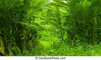 Tropical thicket of bananas and other grasses - Video UHD -...