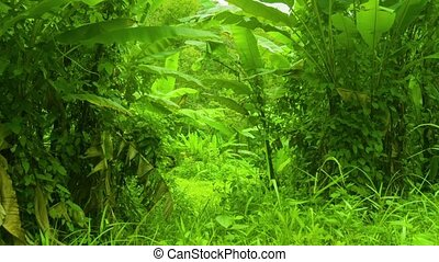 Tropical thicket of bananas and other grasses - Video 1080p...