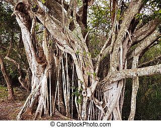 Tropical Tree - A Big Tropical Root Tree