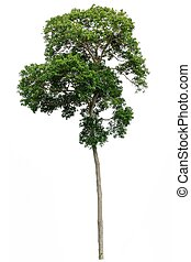 tropical tree isolated - tropical rainforest tree isolated ...