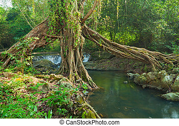 tree roots - Tropical tree roots and waterfall in a misty...