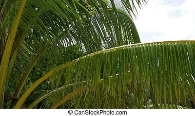 Tropical trees on the coast. Branch of a palm tree. PHANGAN, THAILAND.