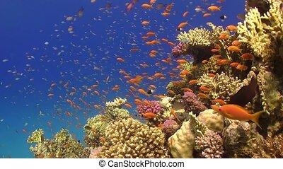 tropical, vibrante, pez, barrera coralina