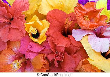 tropical virág, -, hibiszkusz, és, bougainvillea