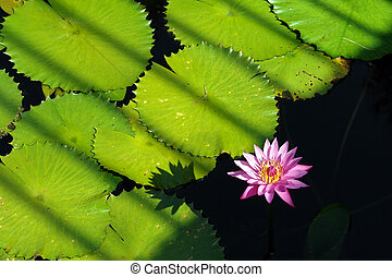 tropical, waterlily