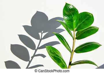 Tropical zamioculcas plant branch with leaves on white background