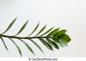 Tropical zamioculcas plant branch with leaves on white background.