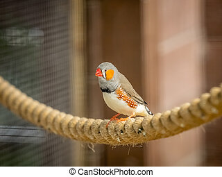 Tropical Zebra Finch bird sitting on a rope in cage in zoo