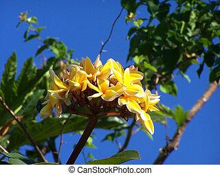 tropicale, flower., frangipani, plumeria., terme, bordo