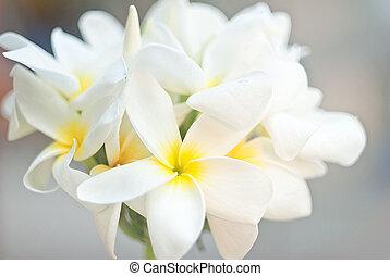 tropicale, flower., frangipani, poco profondo, dof, plumeria., terme