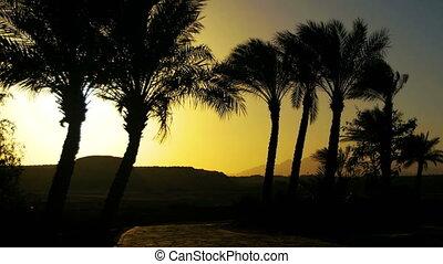 tropicale, palmizi, silhouette, su, tramonto, fondo, e,...