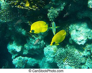 Blu sarcophyton fondo fondo egitto corallo giallo for Pesce rosso butterfly