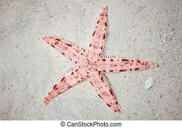 tropicale, spiaggia, rosso,  starfish