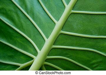 tropikalna roślina, liść, closeup, -, roślina, liście, makro
