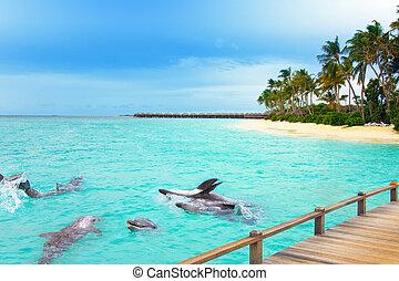 tropikalny, delfiny, island., maldives., ocean
