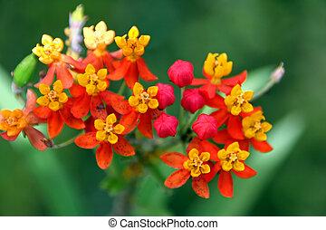 tropikalny kwiat, grono, rozkwiecony, w, wibrujący, kolor