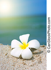 tropikalny kwiat, plumeria, na plaży