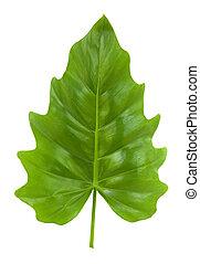 tropikalny liść, od, przedimek określony przed rzeczownikami, philodendron, odizolowany