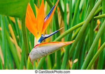 tropikalny, wibrujący, kwiat