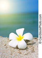 tropische blume, sandstrand, plumeria