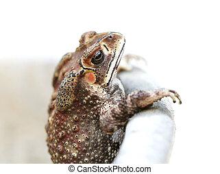 tropische , foto, frogs, verticaal