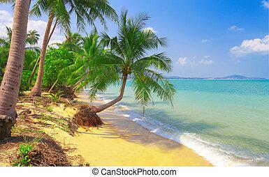 tropische , handfläche, kokosnuss, sandstrand