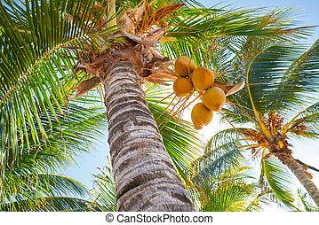 tropische , kokospalme, bäume, in, karibisch